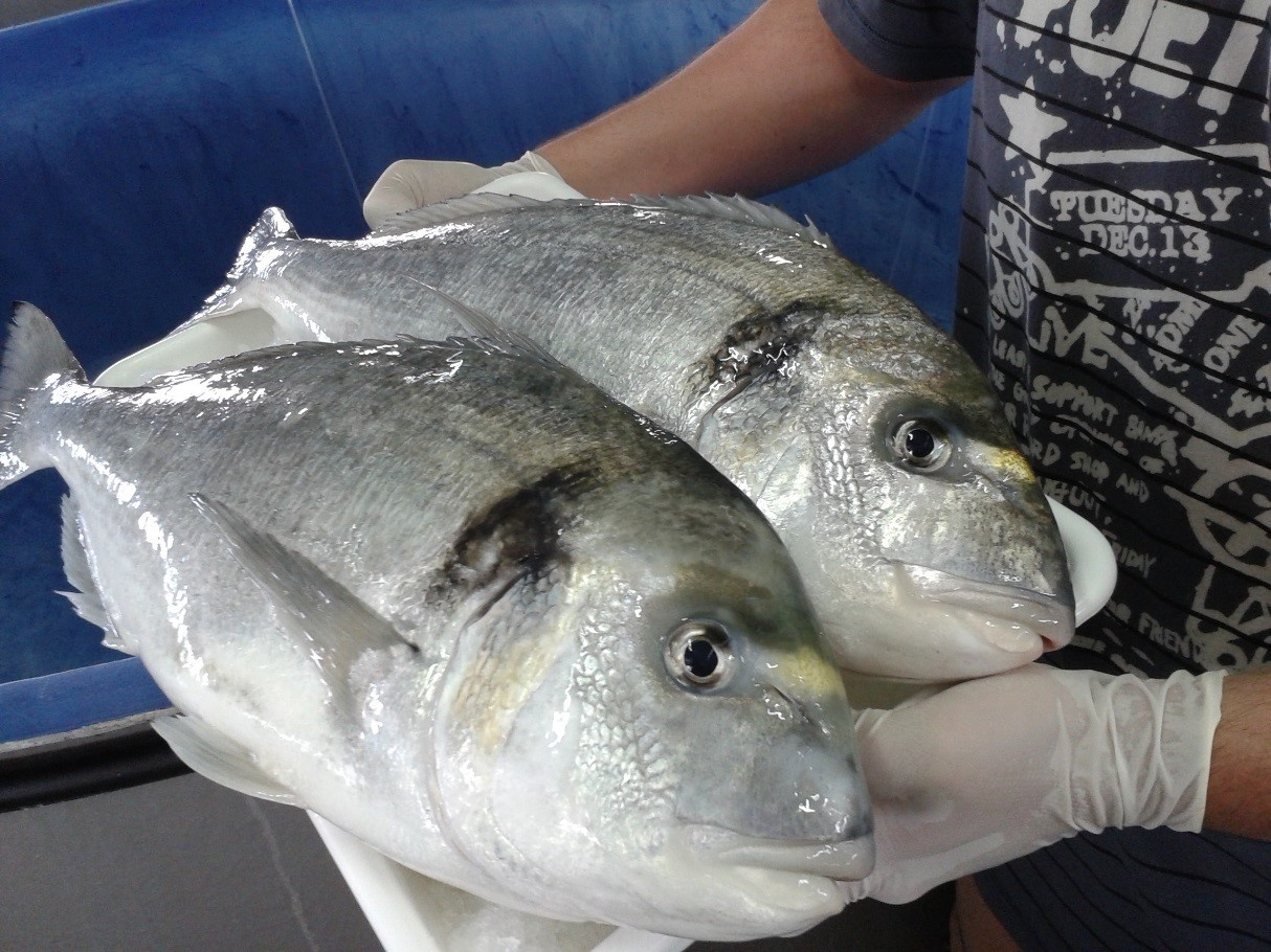 Sea bream at the Institute of Aquaculture Torre la Sal IATS CSIC c Jaume Perez Sanchez
